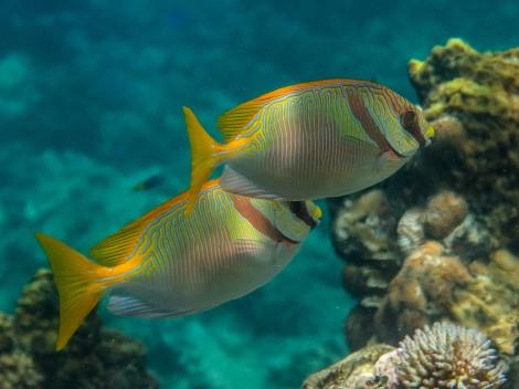 A pair of Siganus doliatus swimming merrily together.